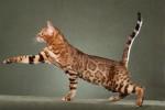 savannah-cat1-1